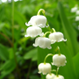 Lily of the valley, the smell of spring.